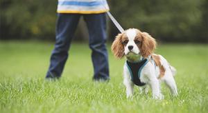 Как помочь щенку привыкнуть к поводку