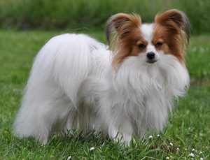 Континентальный той спаниель - декоративные породы собак