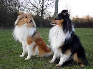 Собаки колли и шелти лучшие компаньоны