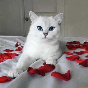 Описание самой красивой кошки