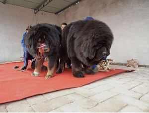 Какие собаки самые большие