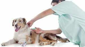 Календарь прививок для собак - до года и последующие ревакцинации