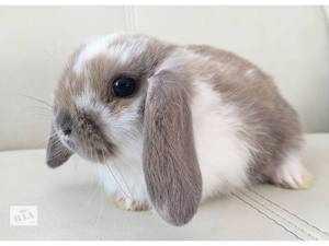 Описание и фото кроликов Вислоухий баран