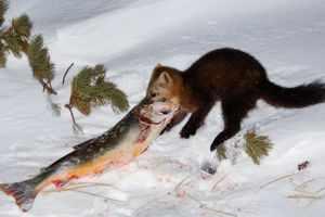 Соболь ест рыбу