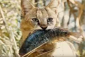 КАМЫШОВЫЙ КОТ ИЛИ БОЛОТНАЯ РЫСЬ хищное семейство кошачьих