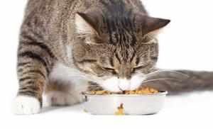 Повышение аппетита у кошек