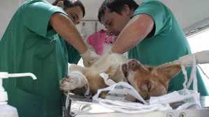 Операция кастрации собак