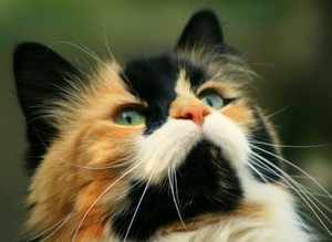 Кошки и коты трехцветные - почему коты редкость?