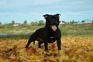 Бультерьер бегает по листьям
