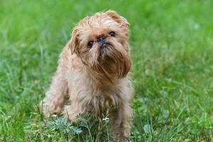Собака породы бельгийский гриффон
