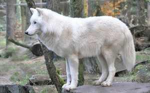 Мельвийский островной волк