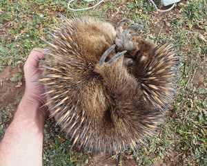 Во время опасности австралийская ехидна скручивается в клубок