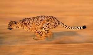 Гепард - самый быстрый бегун на земле