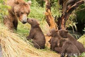 Описани е бурого медведя
