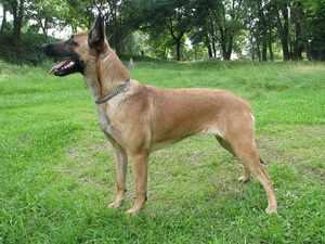 Характеристика собак породы Бельгийская овчарка