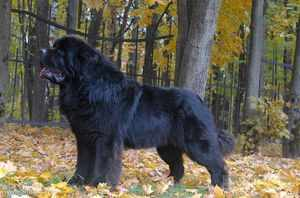 Характер собаки Ньюфаундленда