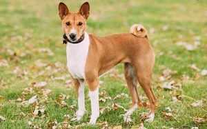 Перечень охотничьих не линяющих пород собак