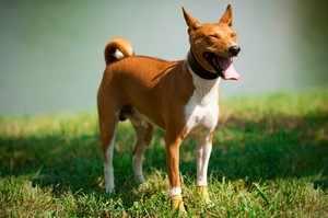 Порода собак Басенджи - особенности и уход