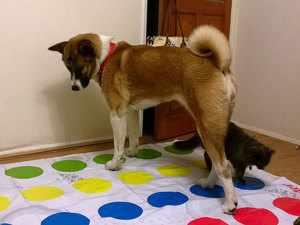 Медицинская характеристика собаки американская акита
