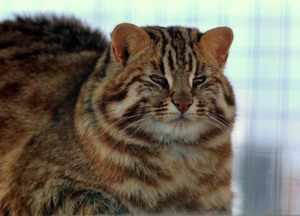 Взрослый сытый амурский лесной кот