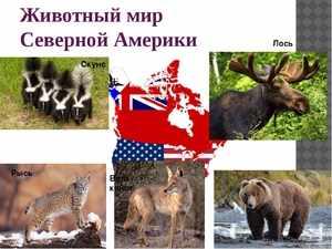 Какие животные обитают в северной Америке