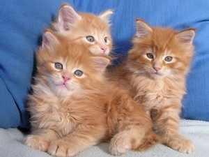 Как определить, сколько недель котенку