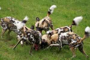 Охота африканских диких собак