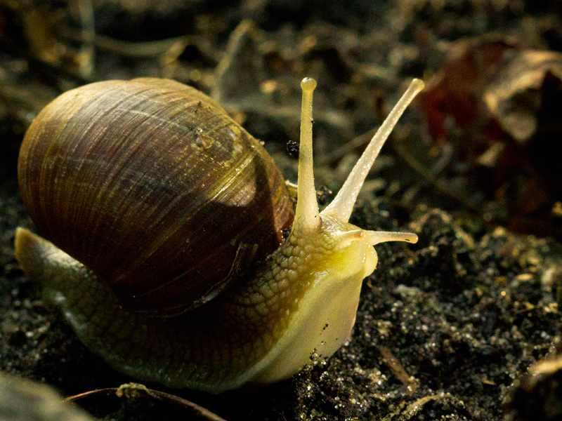 Садовая улитка - разновидность моллюсков на суше