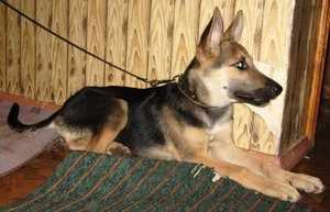Определение породы собаки - внешние признаки