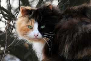 Мистическая трёхцветная кошка - приметы
