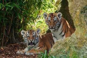 Тигр – представитель рода пантер