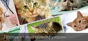 Чем лечить токсиплазмоз у кошек
