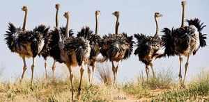 Птица страус - крупная нелетающая птица