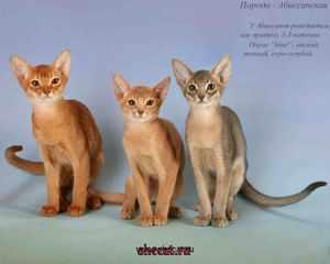 Коты абиссинской породы