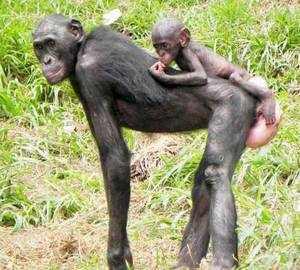 Обезьяна бонобо