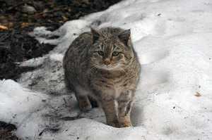 Степной кот - редкий вид, занесен в Красную книгу
