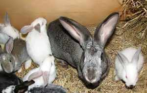 В чем особенность лечения кроликов