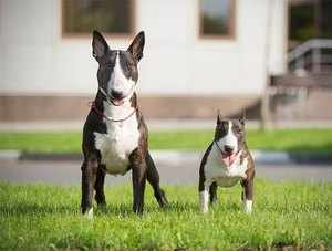 Мини бультерьер - когда появилась порода собак