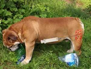 Правильное проведения инъекции собакам