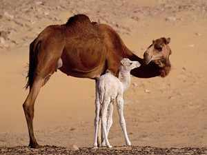 Верблюжонок с матерью