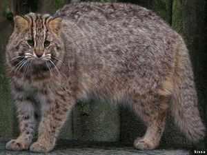 Амурский лесной кот - окрас животного