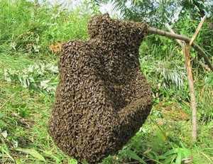 Как отловить рой пчел