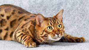 Бенгальская кошка - характеристика