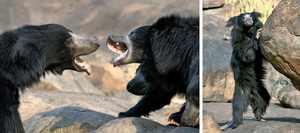 Самые популярные виды медведей