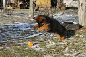 Длинношёрстный щеноковчарки играет