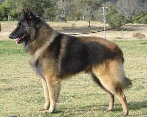 Особенности служебных собак