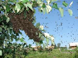 Отлов пчел без ловушки