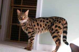 Домашняя кошка ашера