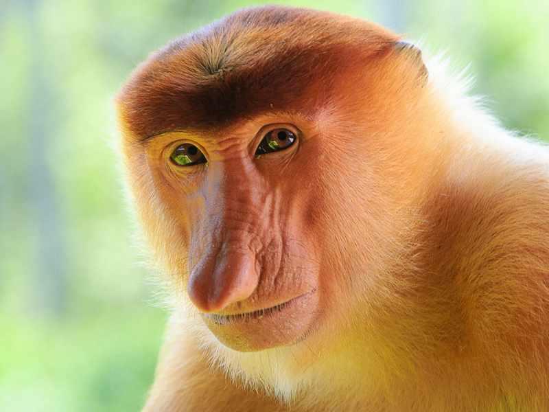 Носатая обезьяна