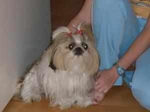 Порода собак- прекрасная Ши-тцу